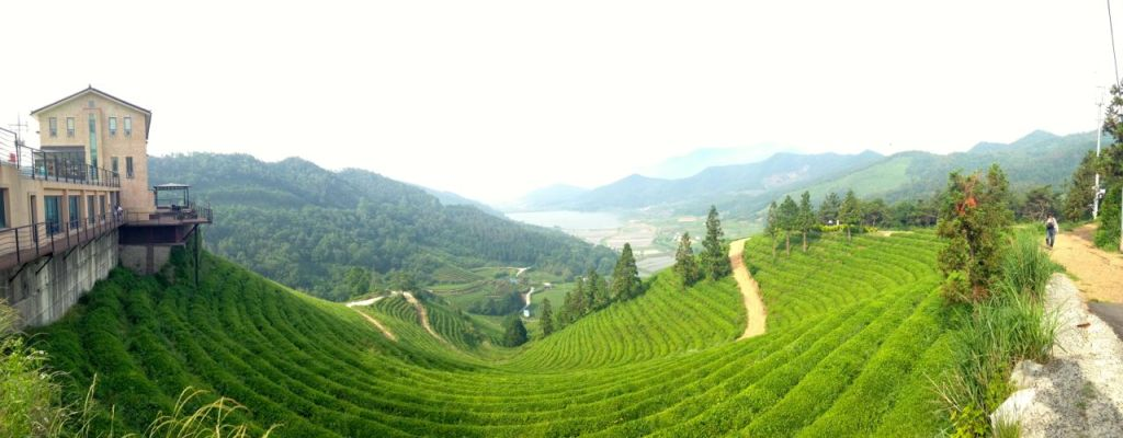 Green Tea Fields in Boseong, Korea