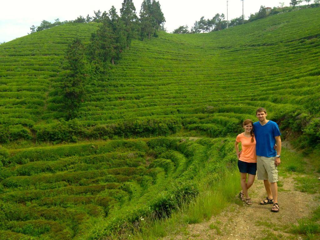 Green Tea Fields of Korea