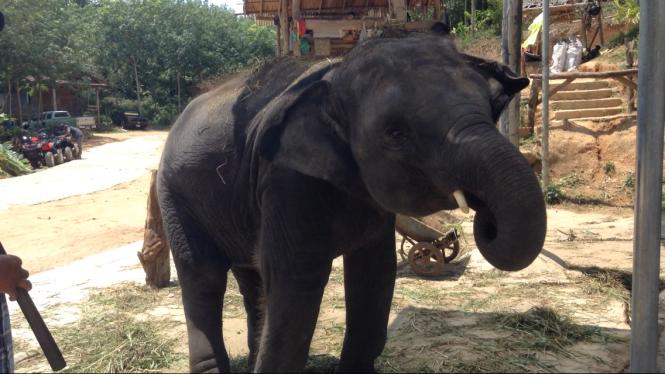 Baby Elephant in Phuket Thailand