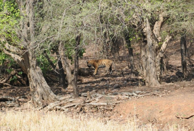 Machli Ranthambore National Park Safari